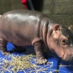 Children's Book Inspired by Baby Hippo Fiona