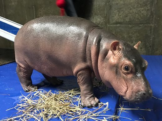 Baby hippo Fiona for Children's Book